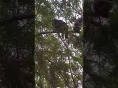 Monos aulladores en pleno barrio San Martín