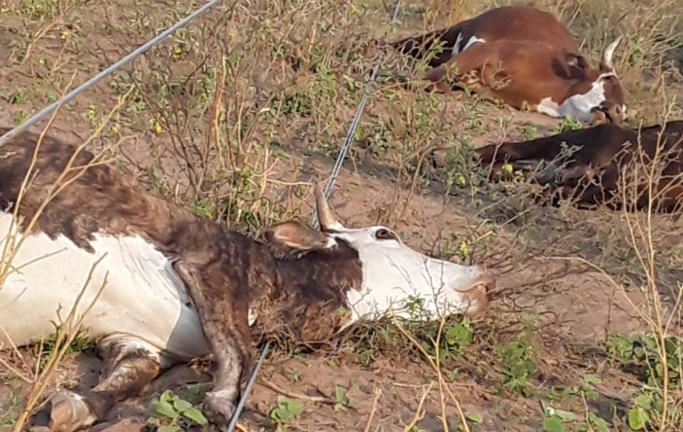 Cae tendido eléctrico y mata ganado en el oeste provincial