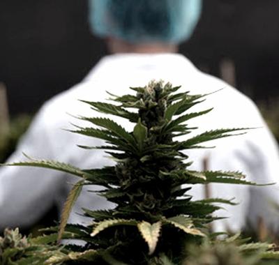 Mendoza es la primera provincia en reglamentar el cultivo de cannabis para uso medicinal