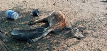 vaca 3.jpg